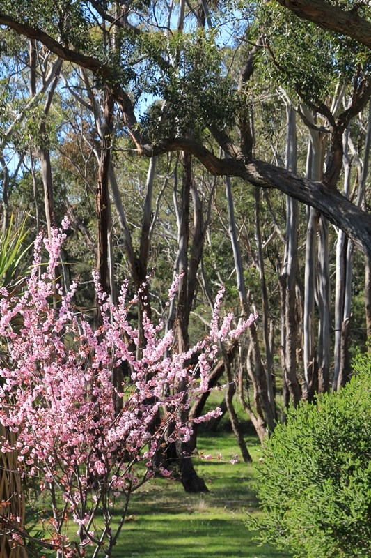 Ornamental plum blossom fifteen acres - Decorative trees with red leaves amazing contrasts ...