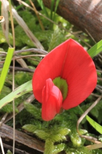Red-running-postman-native-australian-pea-flower-close-up