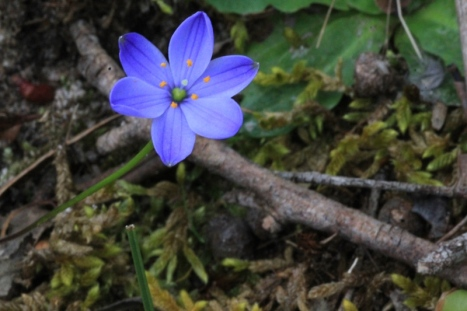 blue-flower-with-yellow-tipped-stamens-with-twig-and-moss
