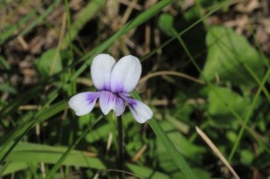 Purple-and-white-violet-flower-with-grass-in-background