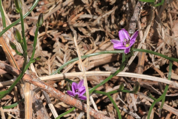purple-twining-fringe-lily-flowers-on-leaf-litter
