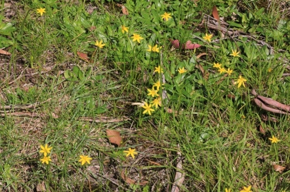 grass-scattered-with-yellow-star-flowers