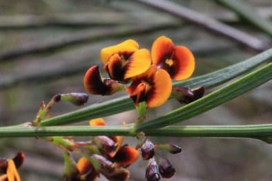 yellow-and-red-native-pea-flowers-close-up