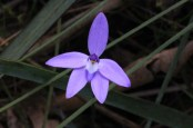 purple-and-white-waxlip-orchid-against-green-leaves