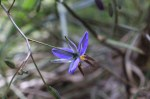 Blue-flower-black-anthered-flax-lily-close-up