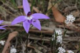 purple-flower-waxlip-orchid-against-white-flowering-heath