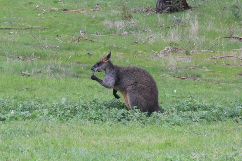Swamp-Wallaby-Eating-Cape-Weed-leaves