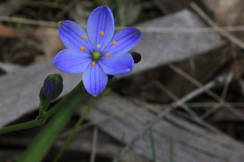 blue-flower-with-bright-yellow-tipped-stamens-against-brown-bark-background