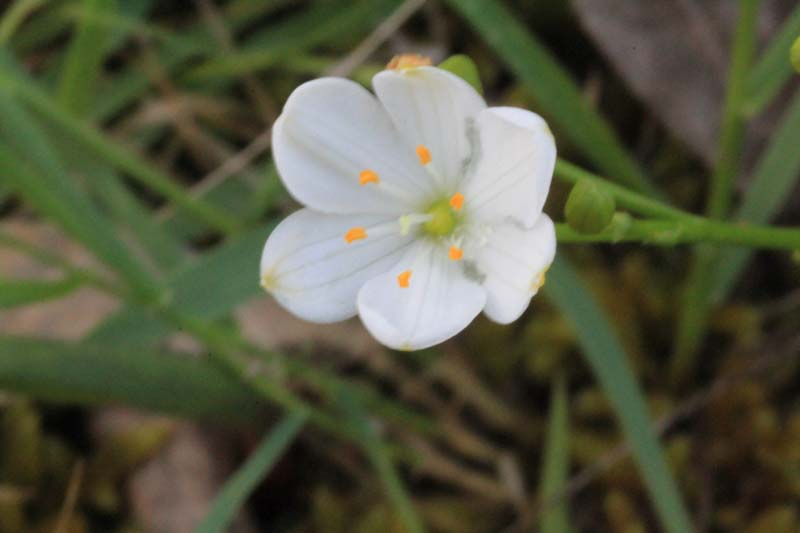 white-flower-with-yellow-tipped-stamens-against-green-grass-background