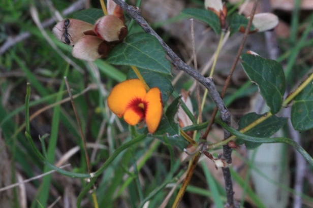 Open-common-flat-pea-flower-showing-yellow-and-red-plus-buds