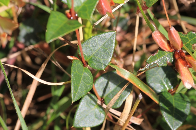 shapr-spines-on-common-flat-pea-leaves