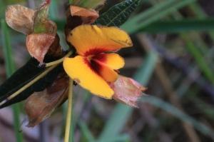 open-common-flat-pea-flower-macro
