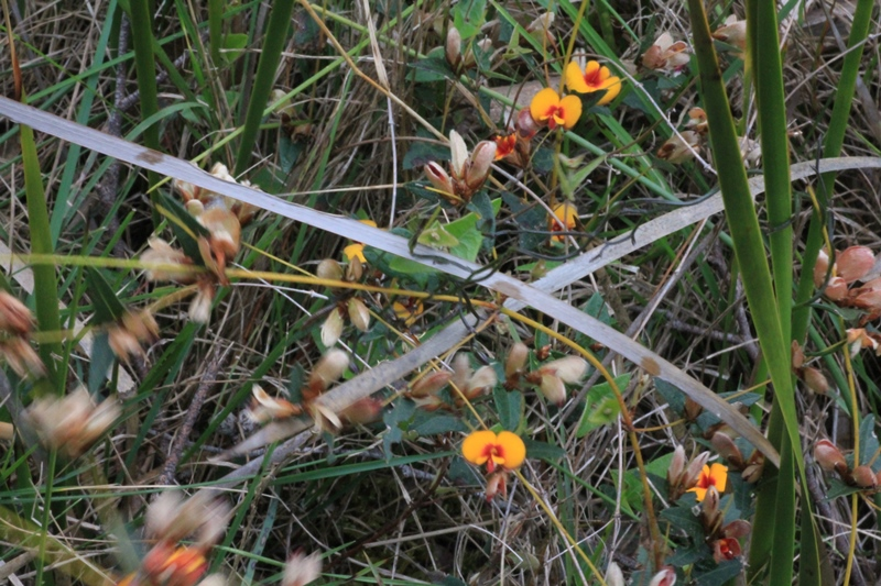 Common-flat-pea-plant-growing wild-showing-stems-leaves-buds-and-flowers