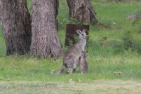 Female-eastern-grey-kangaroo-with-joey-out-of-the-pouch