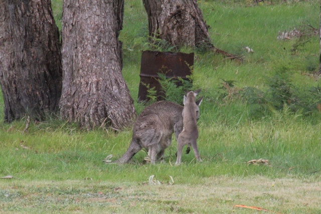 Eastern Grey Kangaroo Joey:  Jumping on Mum