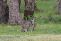 young-eastern-grey-kangaroo-joey-jleaning-on-female-kangaroo