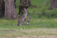 Female-Eastern-grey-kangaroo-with-young-joey-looking-around