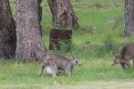 Eastern-grey-kangaroo-joey-getting-into-pouch