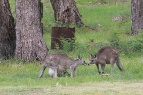 Male-kangaroo-touches-nose-with-female-kangaroo-after-joey-hops-back-into-pouch