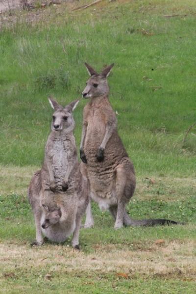 male-female-and-joey-eastern-grey-kangaroo-on-green-grass