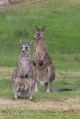 male-female-and-joey-eastern-grey-kangaroo-on-green-grass