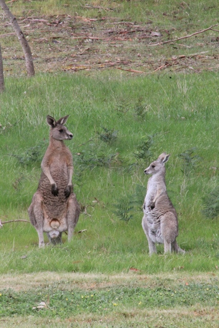 young-male-and-female-eastern-grey-kangaroo