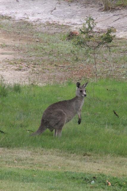 young-single-male-kangaroo-sitting up