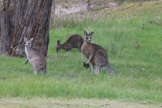 three-eastern-grey-kangaroos-on-green-lush-grass-beneath-tree