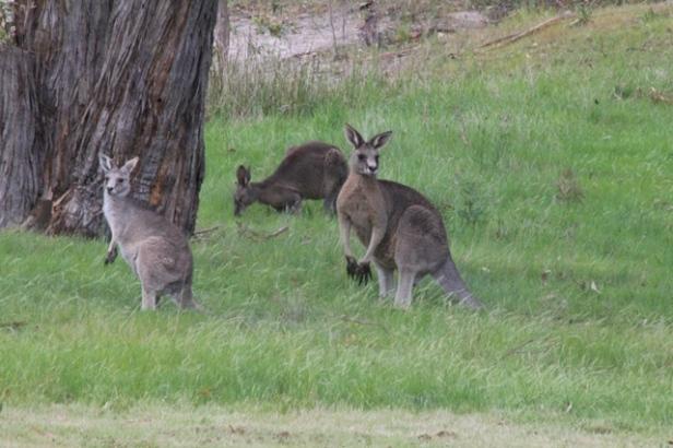 three-eastern-grey-kangaroos-on-green-lush-grass-beneath-tree