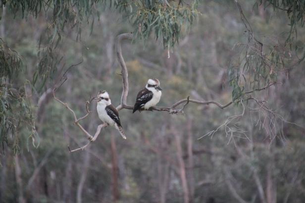 pair-of-laughing-kookaburras-sitting-on-branch