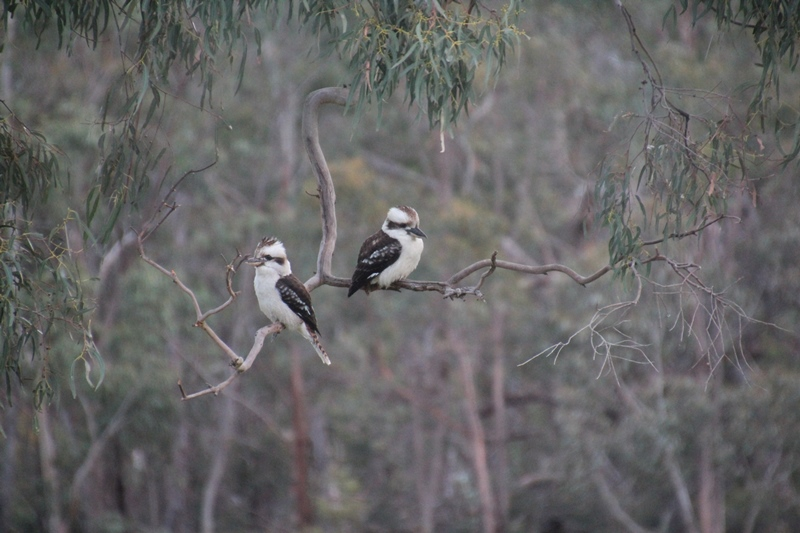 pair-of-laughing-kookaburras-sitting-on-branch