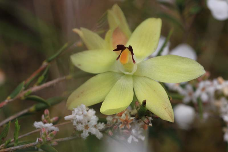 Rabits-Ears-orchid-also-called-lemon-orchid-yellow-flower