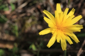 Bright-yellow-yam-daisy-flower