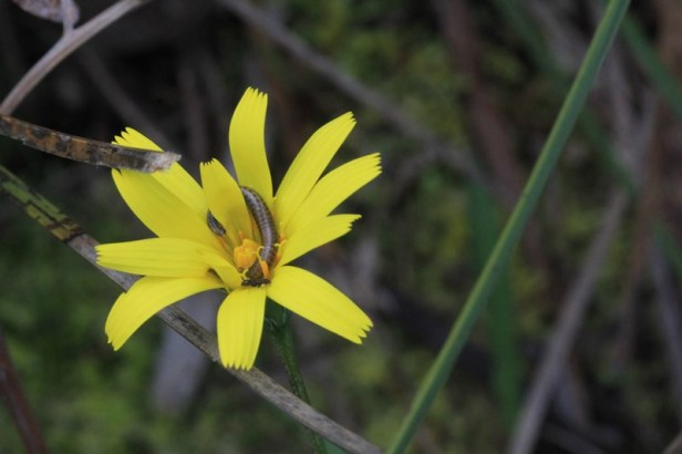 Bright-yellow-yam-daisy-flower-being-eaten-by-larve-and-ant
