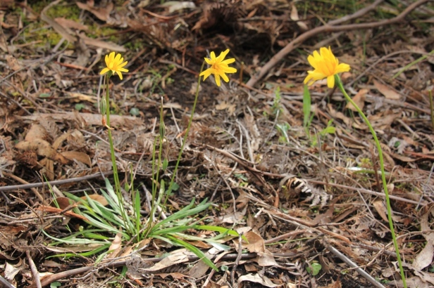 Three-yam-daisy-plants-growing-next-to-each-theragainst-leaf-litter-bush-setting