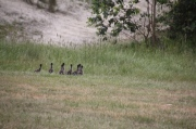 Eight-ducklings-running-withheads-and-necks-in-alignment