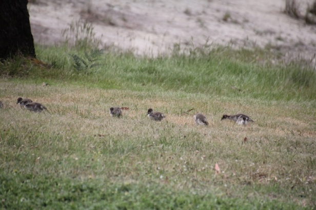 Australian-Wood-Ducklings-feeding-on-short-grass