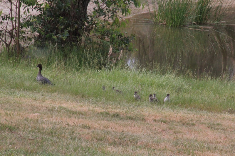 male-Australian-Wood-Duck-with-eight-ducklings-in-long-grass