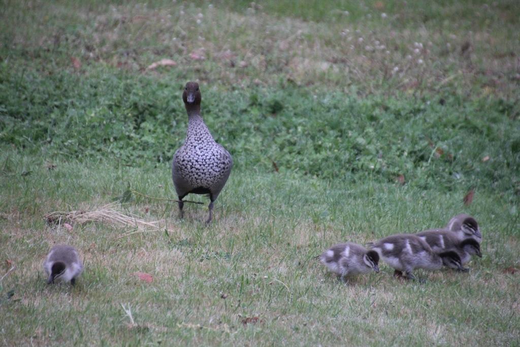 Watchful-male-Australian-Wood-Duck-with-Ducklings