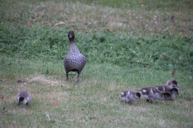 Watchful-male-Australian-Wood-Duck-with-Ducklings