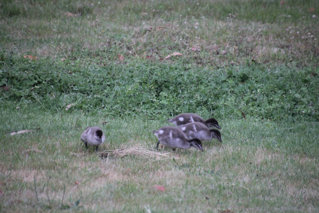 Four-ducklings-eating-grass