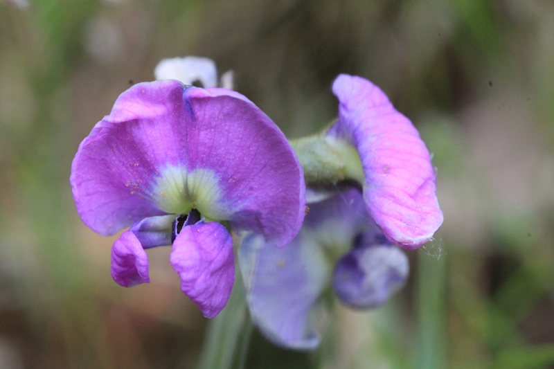macro-shot-of-clover-glycine-flower