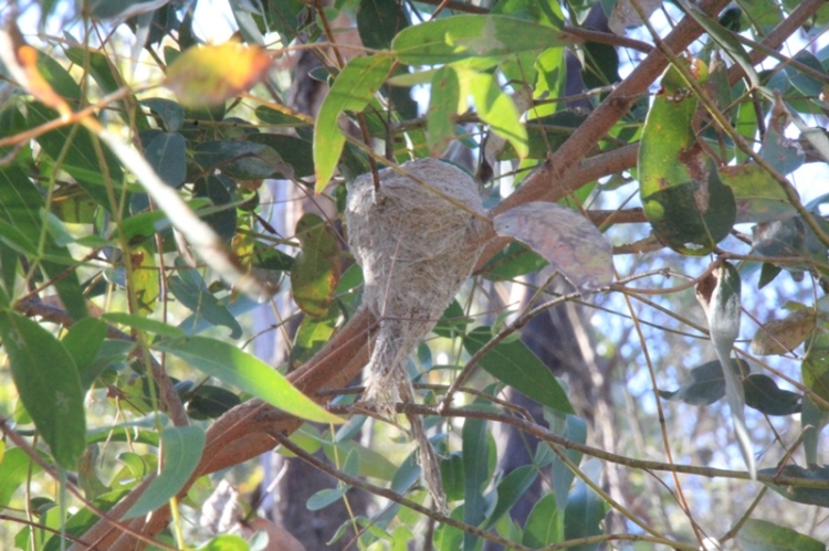 Grey-Fantail-woven-Nest-hanging-in-a-tree