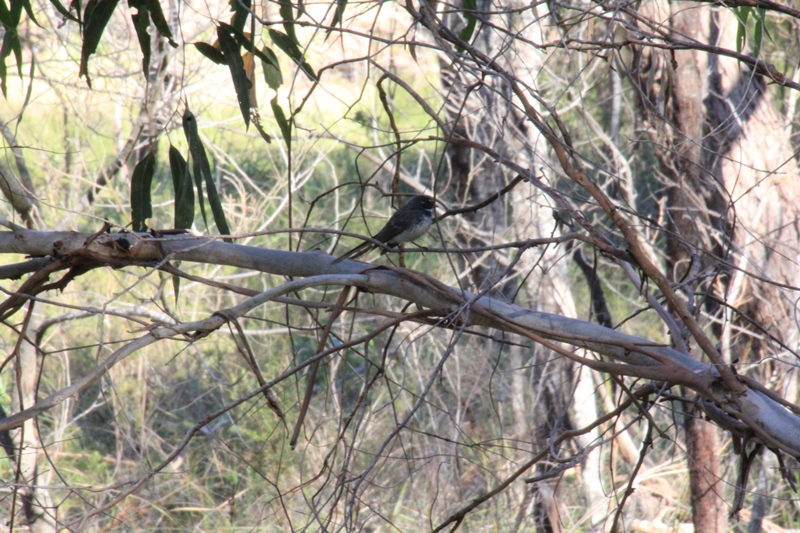 Grey-Fantail-sitting-on-a-branch