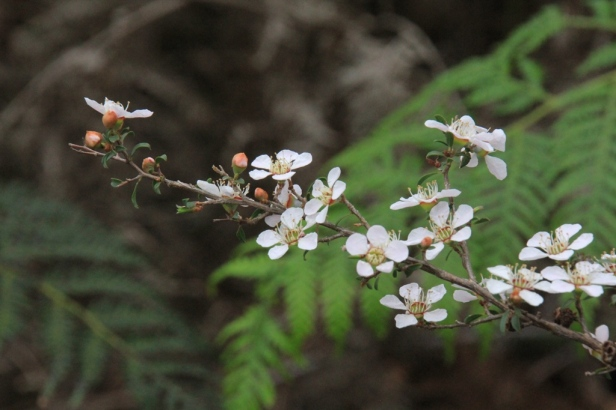 heath-teatree-showing-leaves-buds-and-flowers