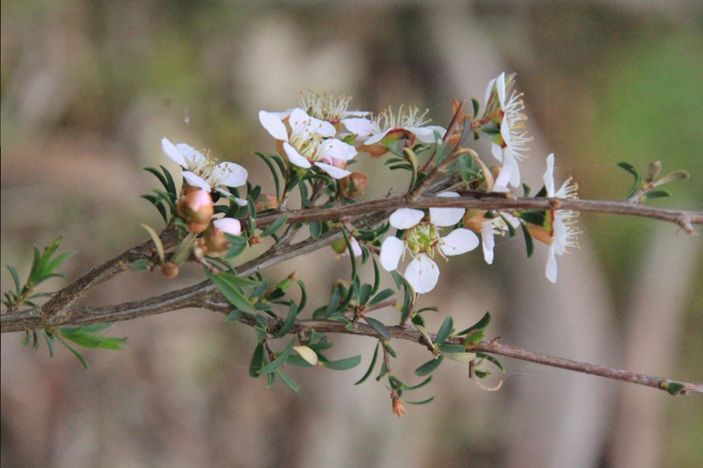Heath-Teatree-with-flowers-buds-andleaves-showing