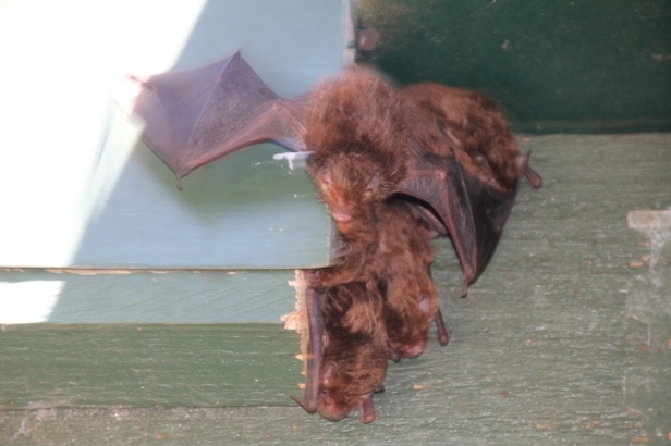 bat flying-away-from-roost-behind-fascia-board