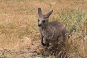 young-eastern-grey-joey-sitting-in-long-grass