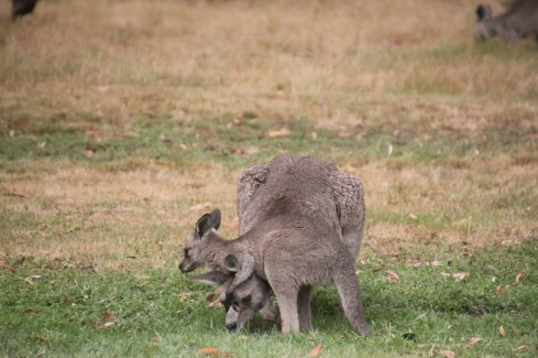 eastern-grey-joey-wrestling-with-its-mother