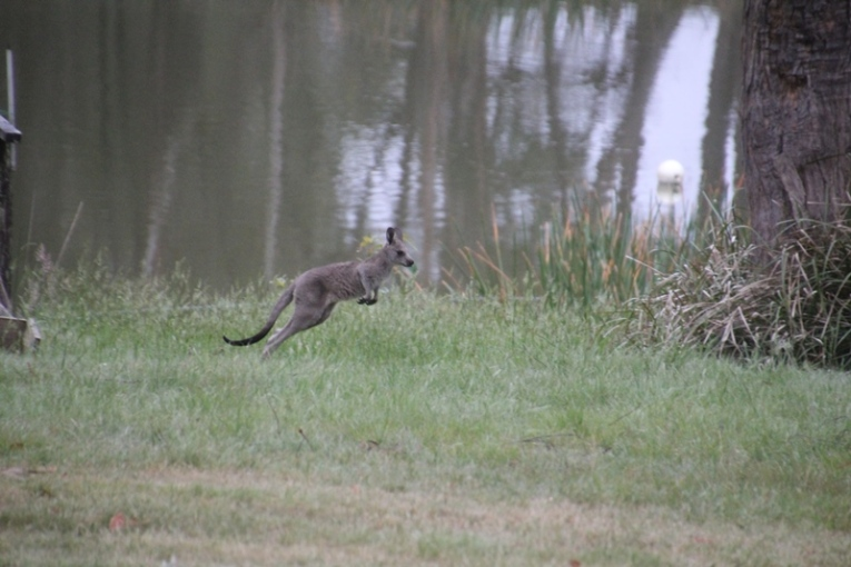 Eastern-Grey-Kangaroo-joey--in-mid-leap